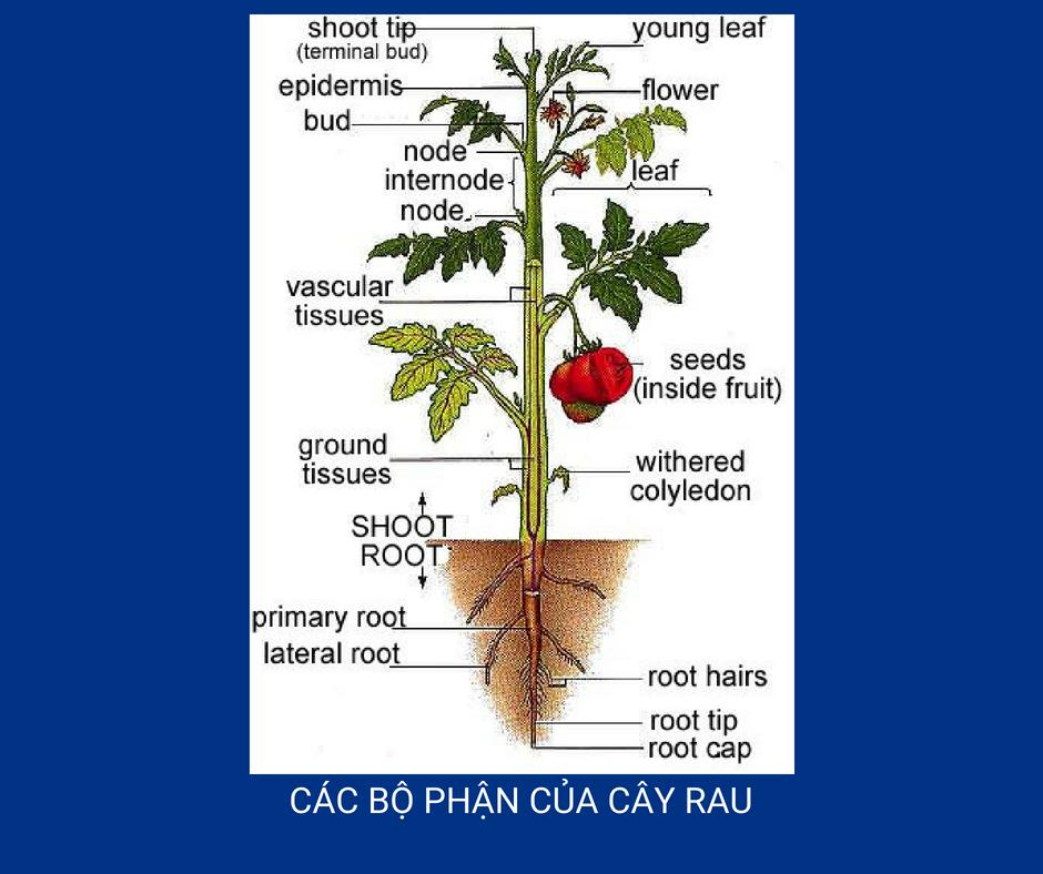 Tên riêng các bộ phận của cây rau